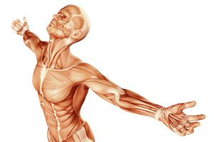 Man as muscular system with arms outstretched
