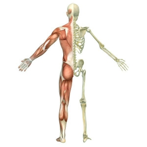Muscles and joints in the human body that can be treated with osteopathy and chiropractic