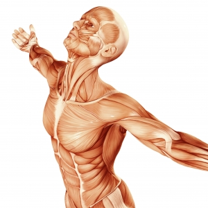Muscles and joints in the human body that can be treated by osteopathy and chiropractic